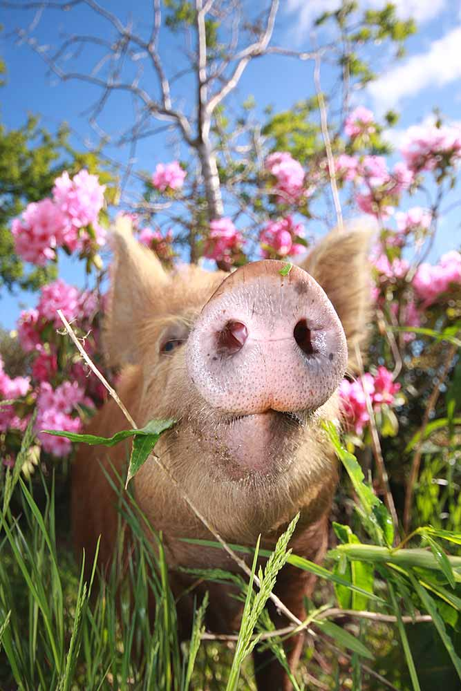 a pig among flowers